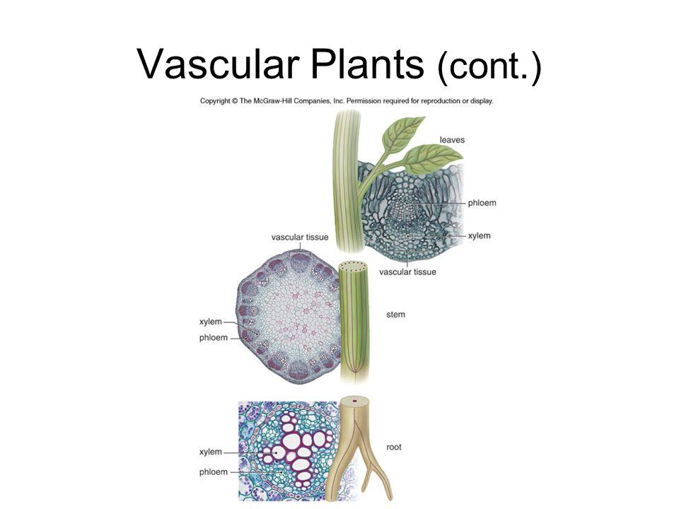 Vascular Plants (cont.)