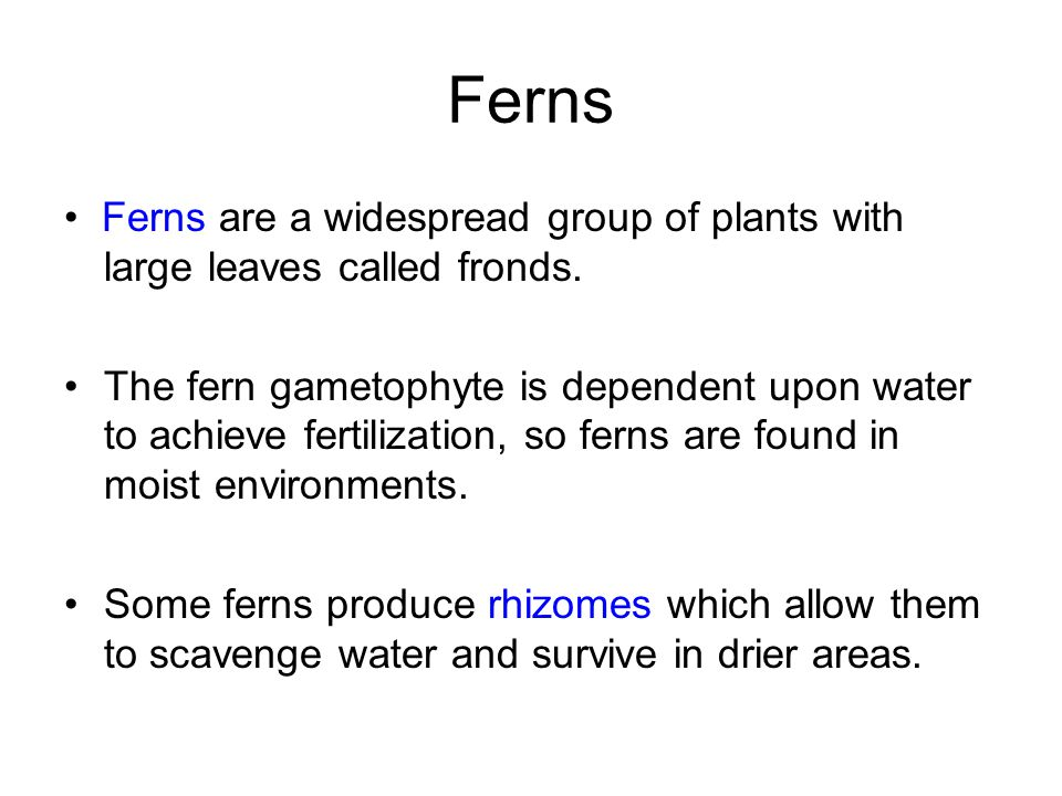 Ferns Ferns are a widespread group of plants with large leaves called fronds. The fern gametophyte is dependent upon water to achieve fertilization, s