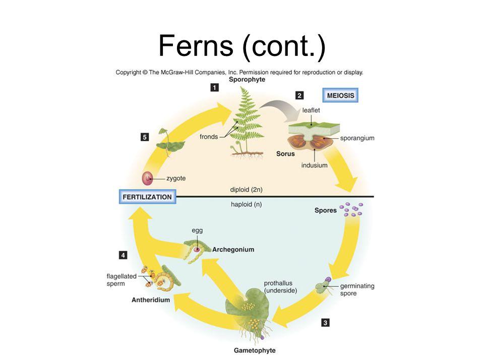 Ferns (cont.)
