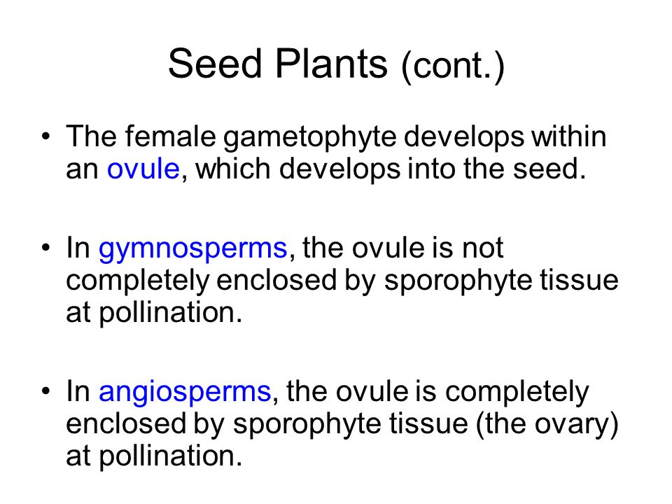 Seed Plants (cont.) The female gametophyte develops within an ovule, which develops into the seed. In gymnosperms, the ovule is not completely enclose