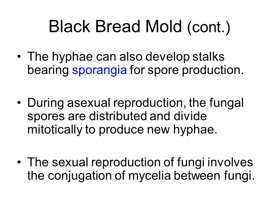 Black Bread Mold (cont.) The hyphae can also develop stalks bearing sporangia for spore production. During asexual reproduction, the fungal spores are