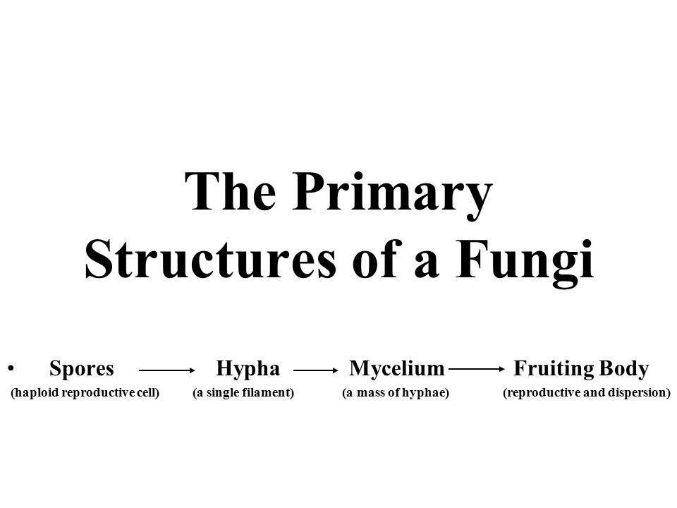 The Primary Structures of a Fungi Spores Hypha Mycelium Fruiting Body (haploid reproductive cell) (a single filament) (a mass of hyphae) (reproductive