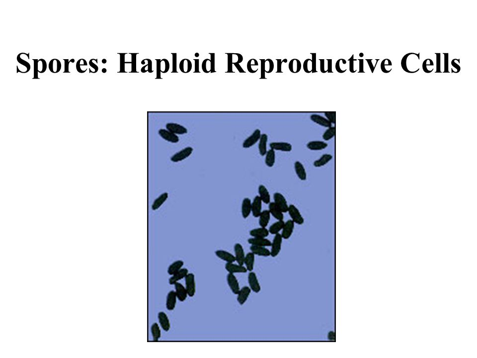 Spores: Haploid Reproductive Cells