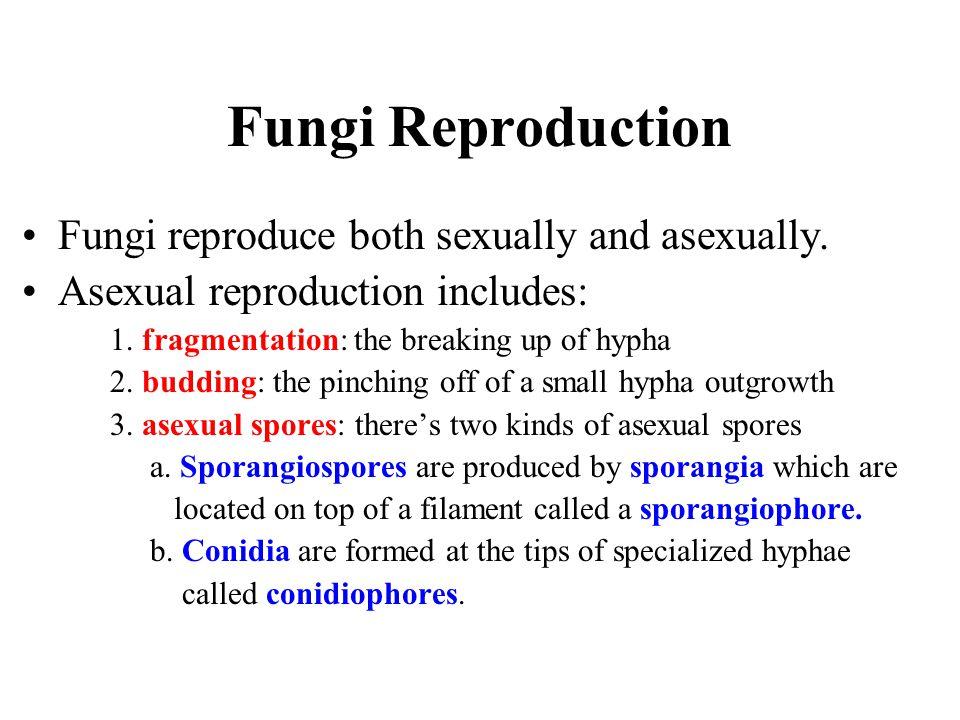 Fungi Reproduction Fungi reproduce both sexually and asexually. Asexual reproduction includes: 1. fragmentation: the breaking up of hypha 2. budding: