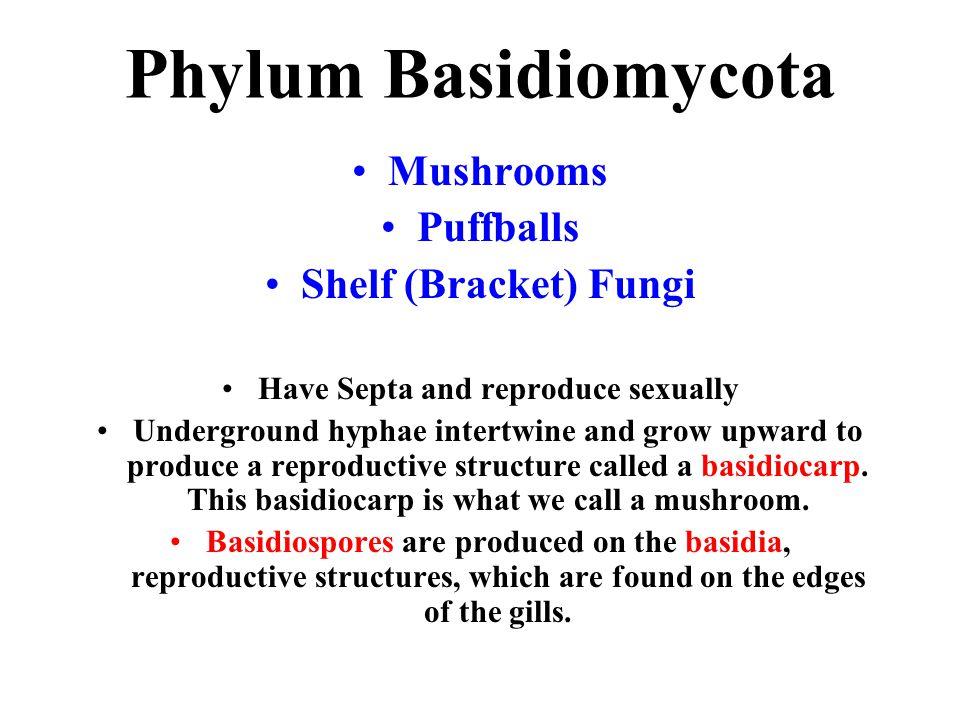 Phylum Basidiomycota Mushrooms Puffballs Shelf (Bracket) Fungi Have Septa and reproduce sexually Underground hyphae intertwine and grow upward to prod