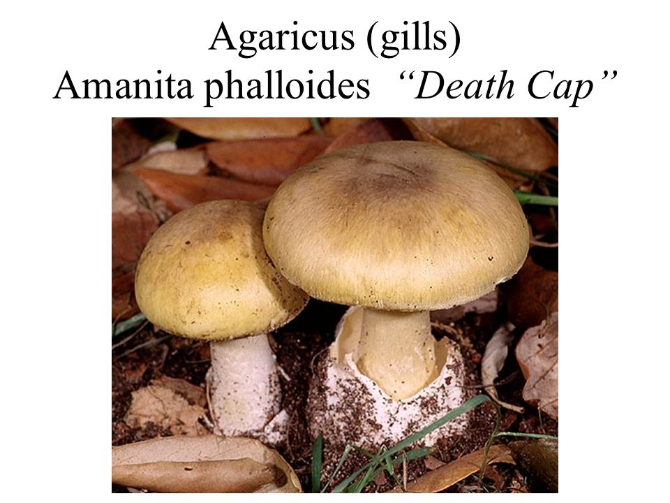 "Agaricus (gills) Amanita phalloides ""Death Cap"""