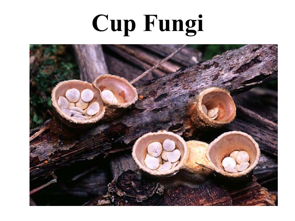 Cup Fungi