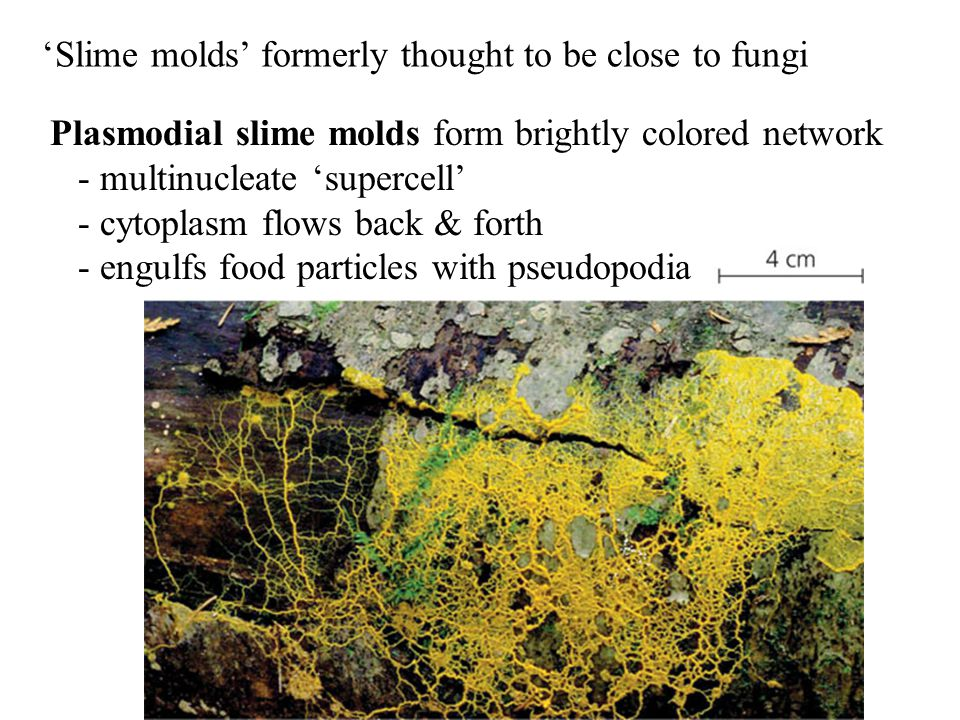 'Slime molds' formerly thought to be close to fungi Plasmodial slime molds form brightly colored network - multinucleate 'supercell' - cytoplasm flows