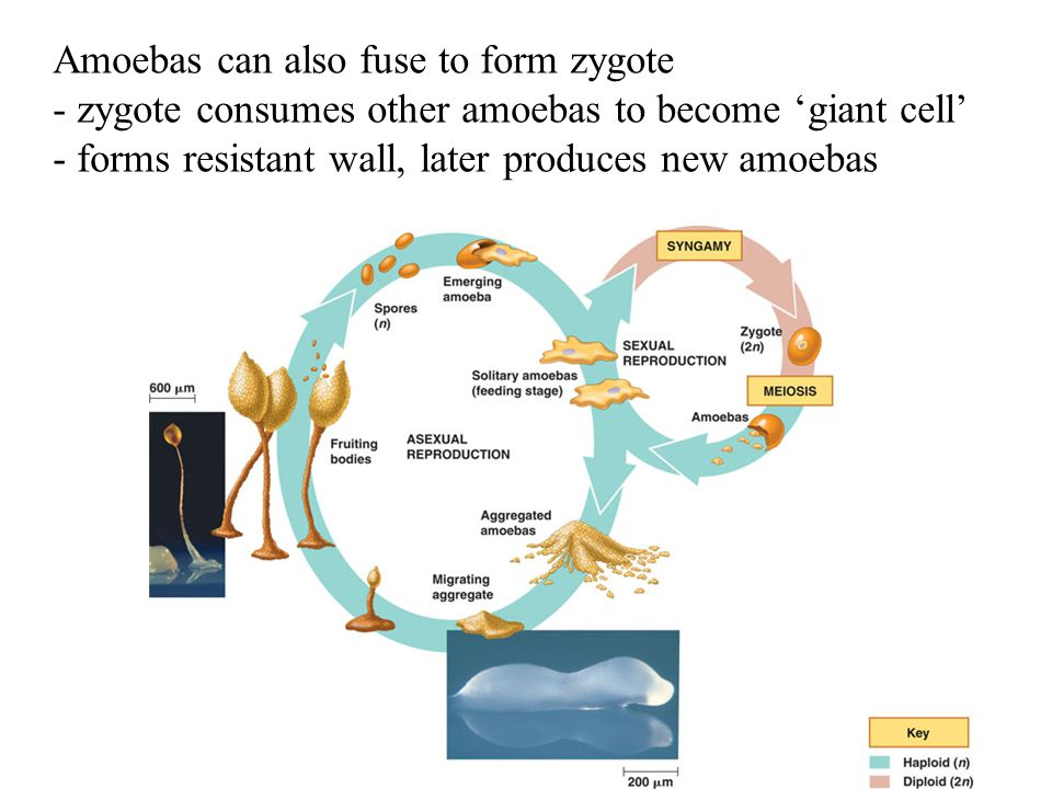 Amoebas can also fuse to form zygote - zygote consumes other amoebas to become 'giant cell' - forms resistant wall, later produces new amoebas