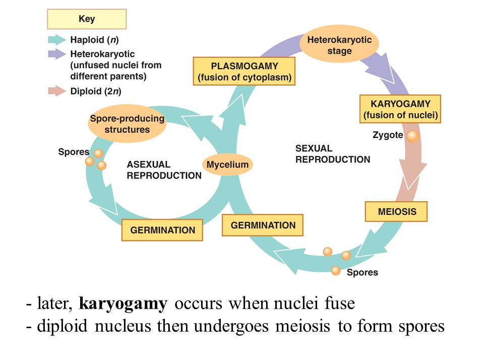- later, karyogamy occurs when nuclei fuse - diploid nucleus then undergoes meiosis to form spores