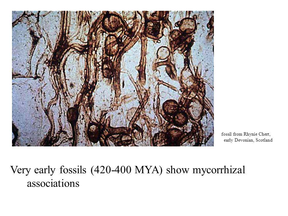 Very early fossils (420-400 MYA) show mycorrhizal associations fossil from Rhynie Chert, early Devonian, Scotland