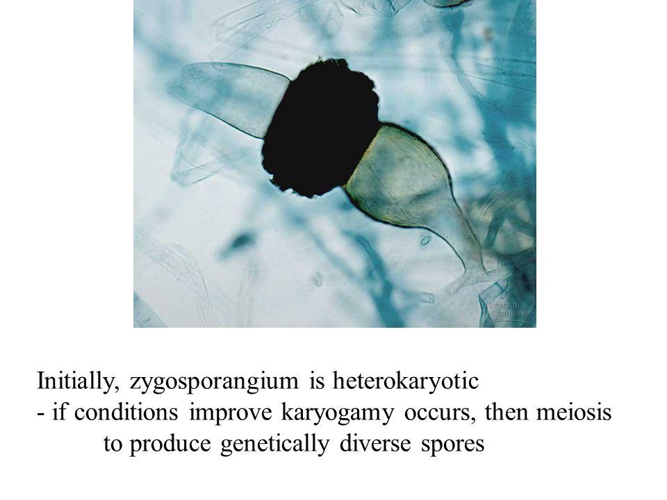 Initially, zygosporangium is heterokaryotic - if conditions improve karyogamy occurs, then meiosis to produce genetically diverse spores