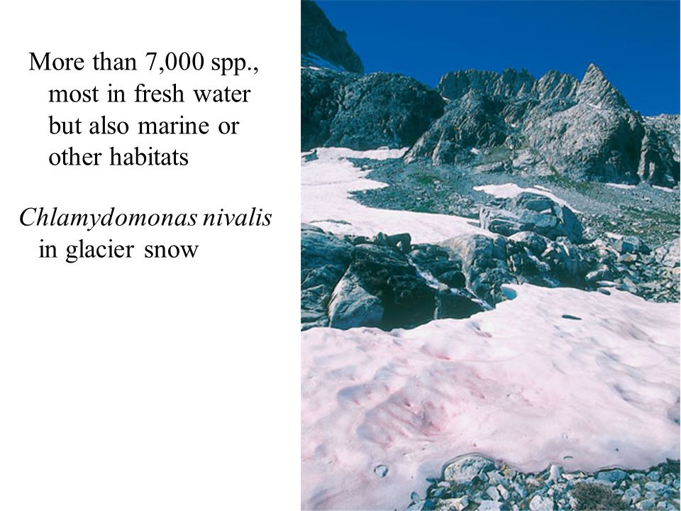 More than 7,000 spp., most in fresh water but also marine or other habitats Chlamydomonas nivalis in glacier snow