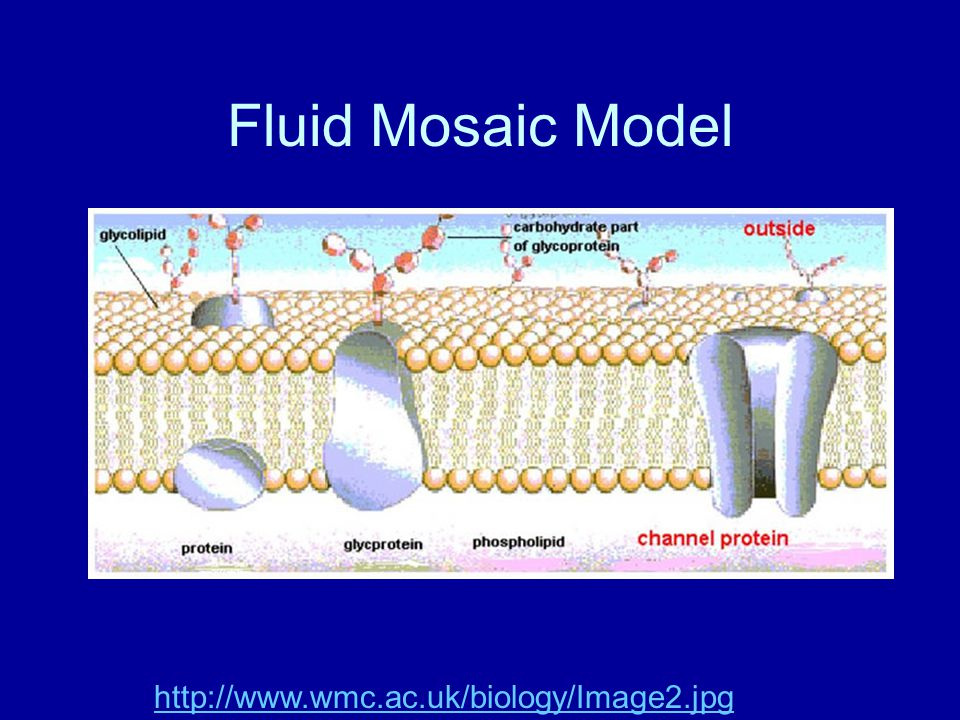 Fluid Mosaic Model http://www.wmc.ac.uk/biology/Image2.jpg