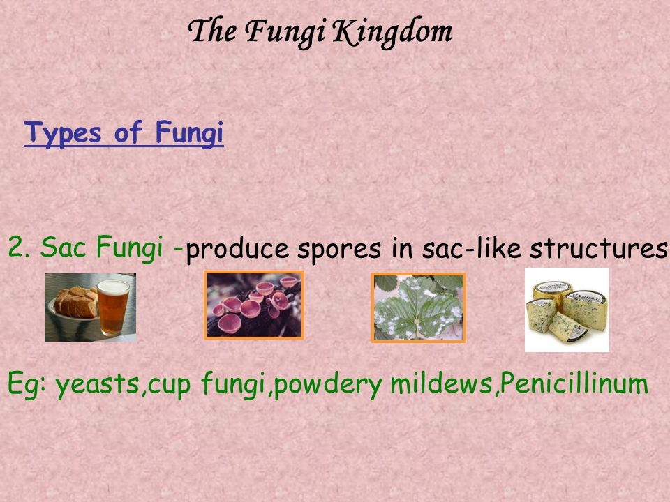 The Fungi Kingdom 2. Sac Fungi - produce spores in sac-like structures Eg: yeasts,cup fungi,powdery mildews,Penicillinum Types of Fungi