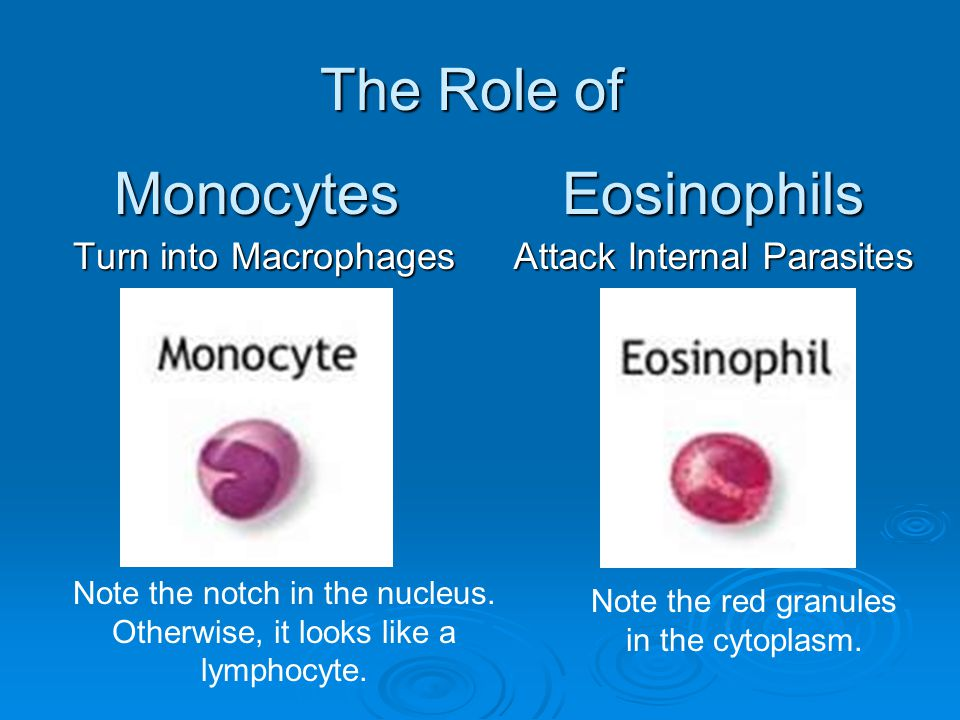 The Role of Turn into Macrophages Note the notch in the nucleus. Otherwise, it looks like a lymphocyte. MonocytesEosinophils Attack Internal Parasites