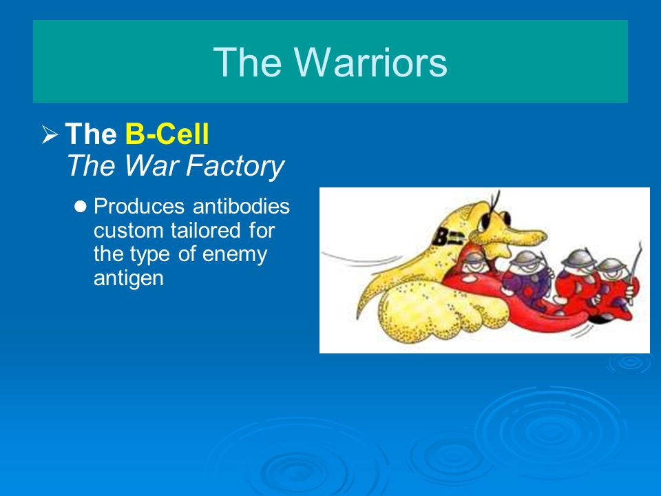   The B-Cell The War Factory Produces antibodies custom tailored for the type of enemy antigen The Warriors