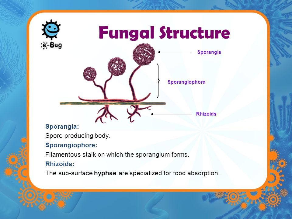 Fungal Structure Sporangia: Spore producing body.