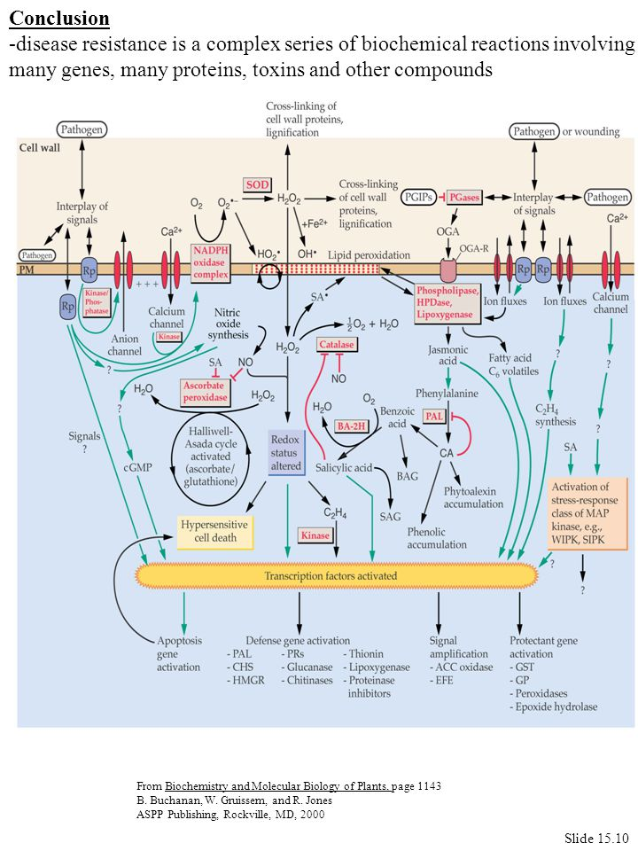 Conclusion -disease resistance is a complex series of biochemical reactions involving many genes, many proteins, toxins and other compounds Slide 15.10 From Biochemistry and Molecular Biology of Plants, page 1143 B.