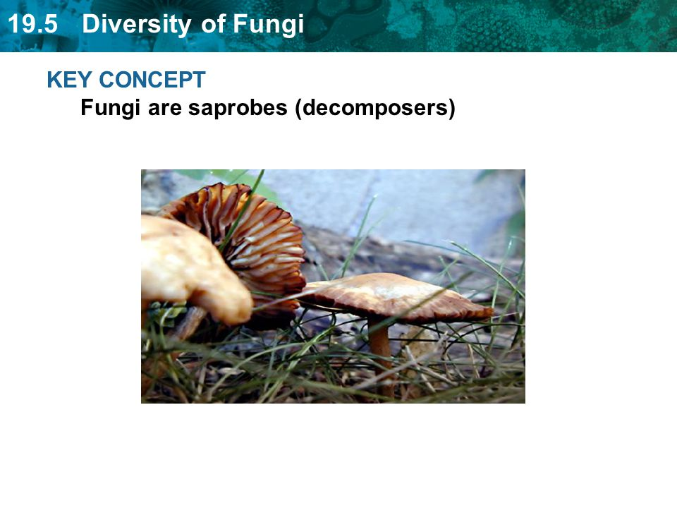 19.5 Diversity of Fungi Plants and Fungi have similar and dissimilar traits Plants: photosynthesis; true roots, stems, and leaves; cell walls with cellulose Plants and Fungi: non-moving, produce spores Fungi: absorb food with hyphae; cell walls with chitin