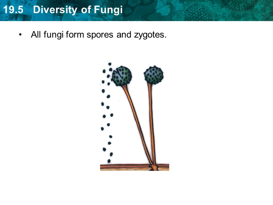 19.5 Diversity of Fungi All fungi form spores and zygotes.