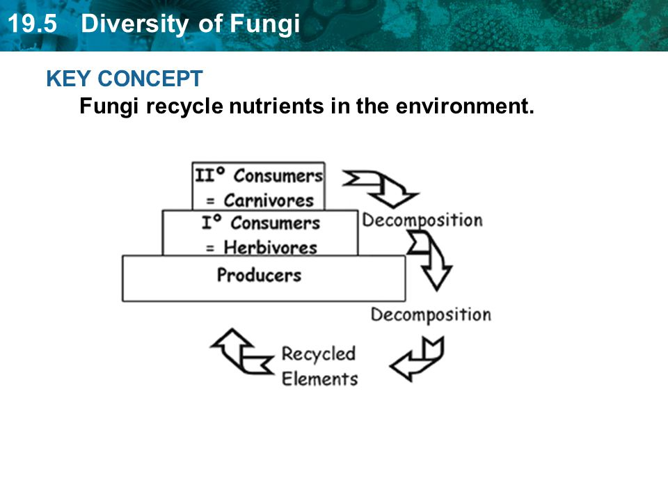 19.5 Diversity of Fungi KEY CONCEPT Fungi recycle nutrients in the environment.