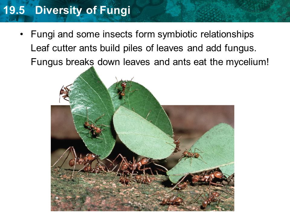 19.5 Diversity of Fungi Fungi and some insects form symbiotic relationships Leaf cutter ants build piles of leaves and add fungus. Fungus breaks down