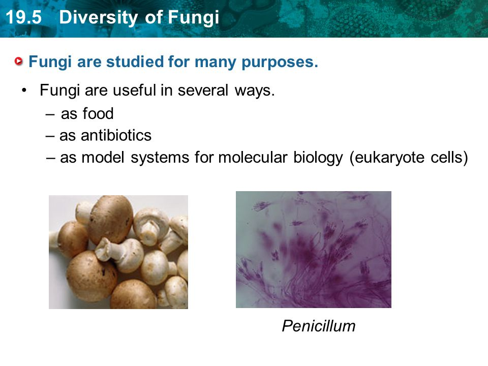 19.5 Diversity of Fungi Fungi are studied for many purposes. Fungi are useful in several ways. –as food – as antibiotics – as model systems for molecu