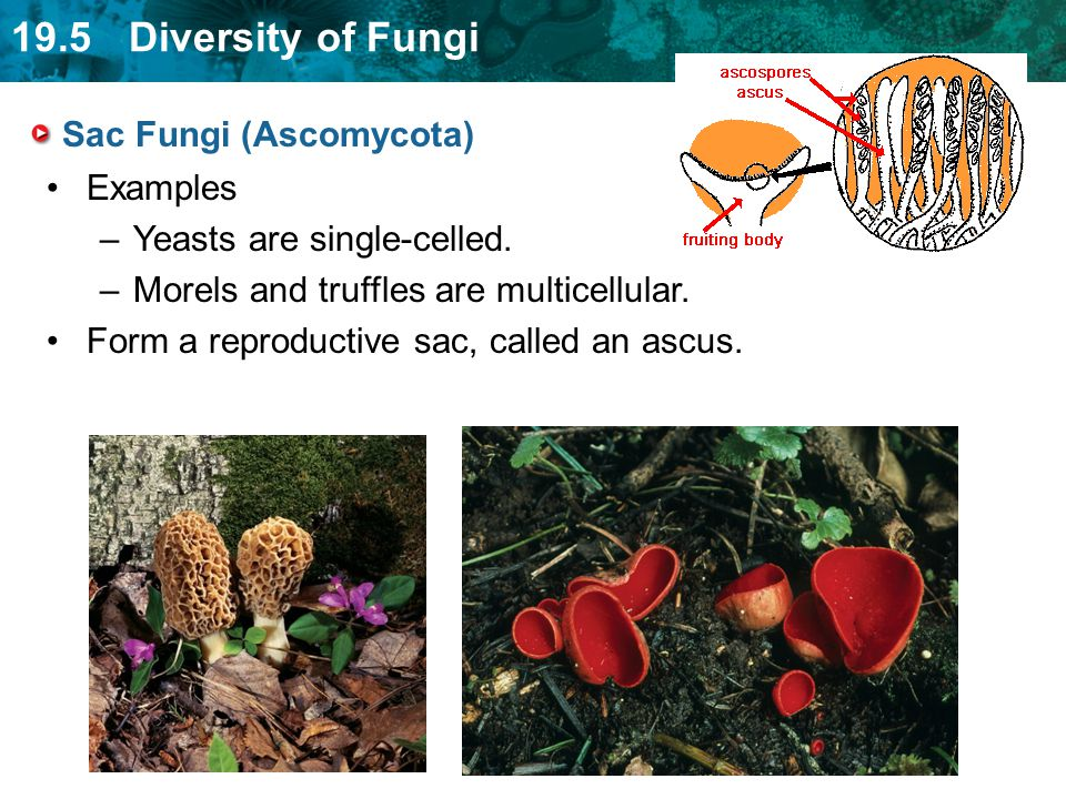 19.5 Diversity of Fungi Sac Fungi (Ascomycota) Examples –Yeasts are single-celled. –Morels and truffles are multicellular. Form a reproductive sac, ca