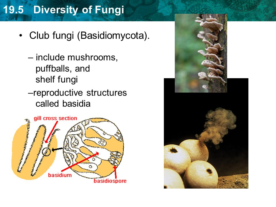 19.5 Diversity of Fungi Plant Diseases –Dutch elm disease –Peach scab –Gray mold Elm bark beetle Gray mold Dutch elm disease