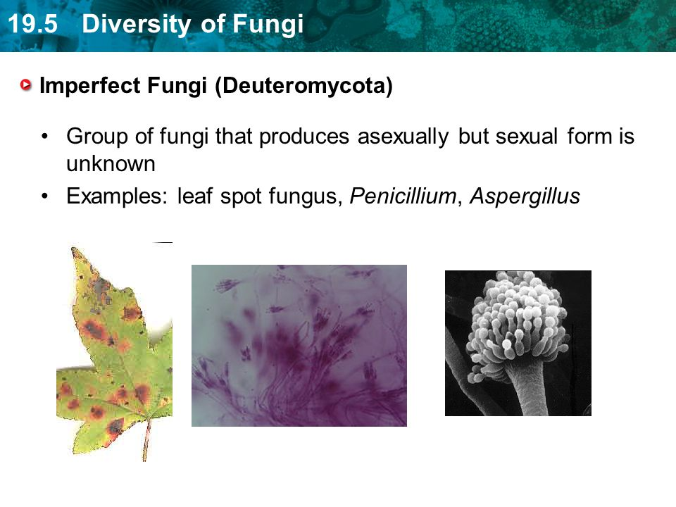 19.5 Diversity of Fungi Imperfect Fungi (Deuteromycota) Group of fungi that produces asexually but sexual form is unknown Examples: leaf spot fungus,