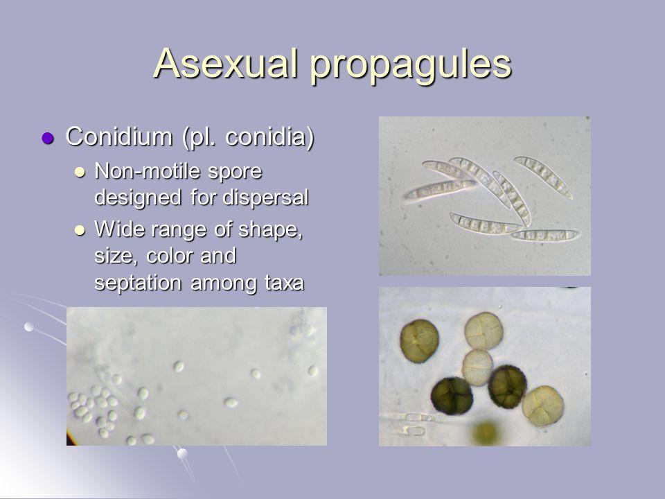 Asexual propagules Conidium (pl. conidia) Conidium (pl. conidia) Non-motile spore designed for dispersal Non-motile spore designed for dispersal Wide