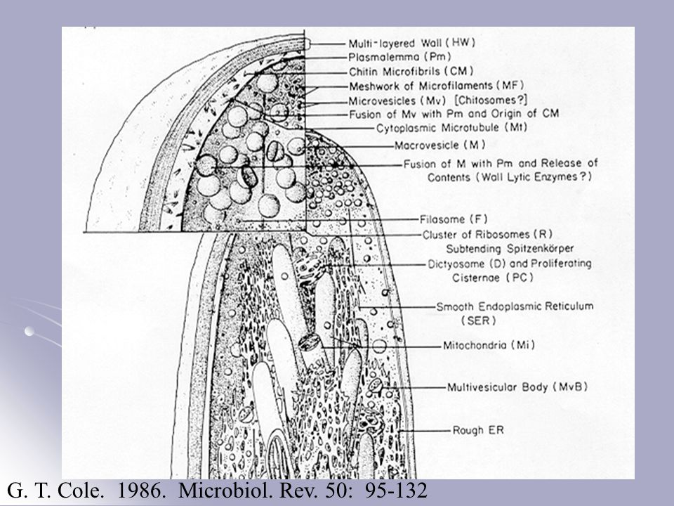 G. T. Cole. 1986. Microbiol. Rev. 50: 95-132