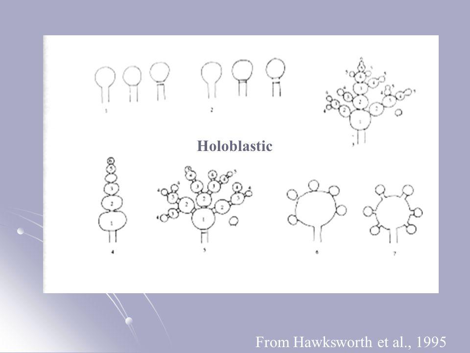From Hawksworth et al., 1995 Holoblastic