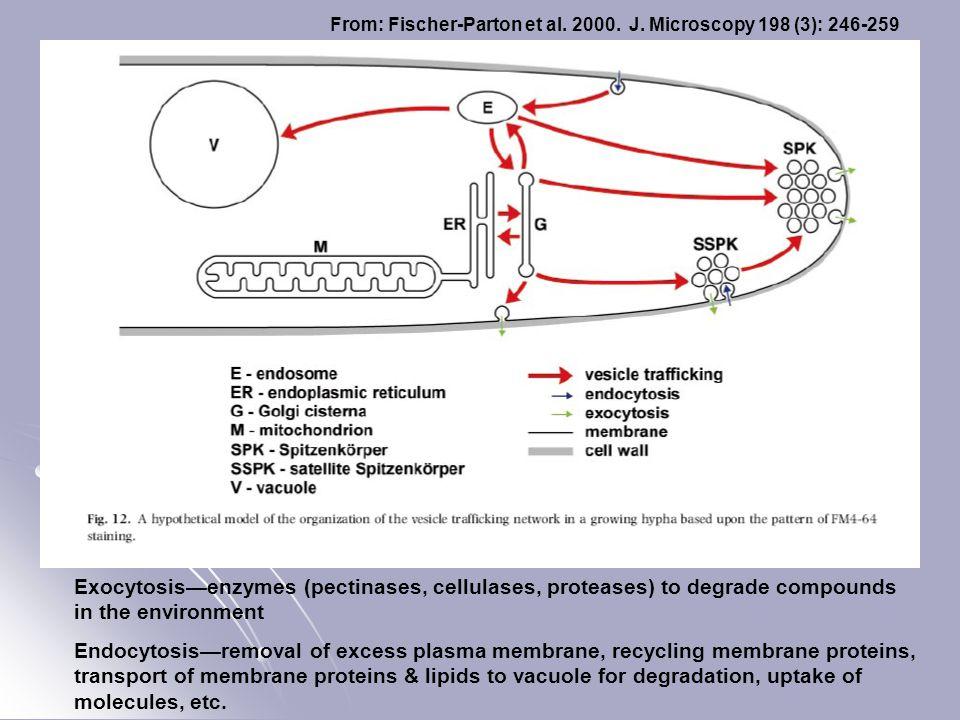 From: Fischer-Parton et al. 2000. J. Microscopy 198 (3): 246-259 Exocytosis—enzymes (pectinases, cellulases, proteases) to degrade compounds in the en