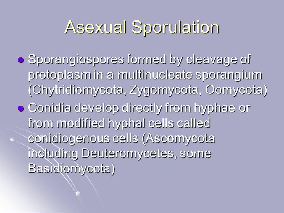 Asexual Sporulation Sporangiospores formed by cleavage of protoplasm in a multinucleate sporangium (Chytridiomycota, Zygomycota, Oomycota) Sporangiosp