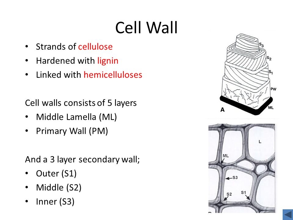 Cell Wall Strands of cellulose Hardened with lignin Linked with hemicelluloses Cell walls consists of 5 layers Middle Lamella (ML) Primary Wall (PM) And a 3 layer secondary wall; Outer (S1) Middle (S2) Inner (S3)