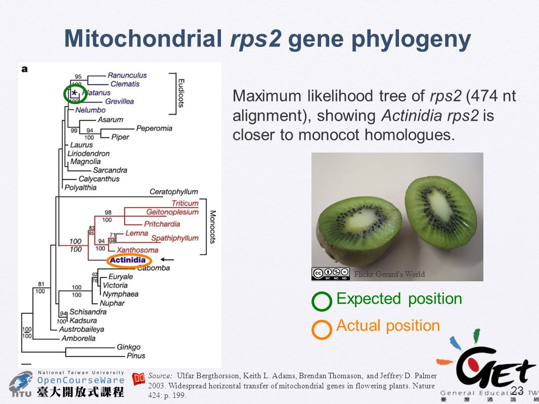 23 Mitochondrial rps2 gene phylogeny Maximum likelihood tree of rps2 (474 nt alignment), showing Actinidia rps2 is closer to monocot homologues. Expec