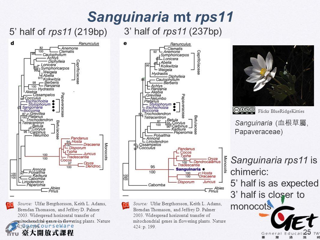 25 Sanguinaria mt rps11 5' half of rps11 (219bp) 3' half of rps11 (237bp) Sanguinaria rps11 is chimeric: 5' half is as expected 3' half is closer to m