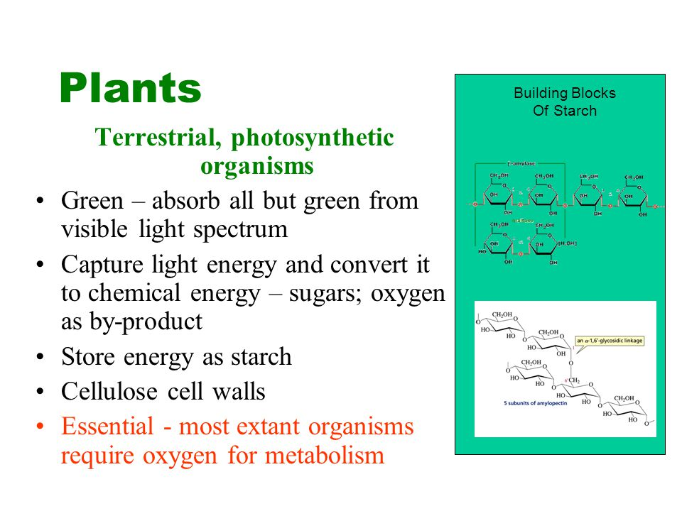 Plants Terrestrial, photosynthetic organisms Green – absorb all but green from visible light spectrum Capture light energy and convert it to chemical energy – sugars; oxygen as by-product Store energy as starch Cellulose cell walls Essential - most extant organisms require oxygen for metabolism Building Blocks Of Starch