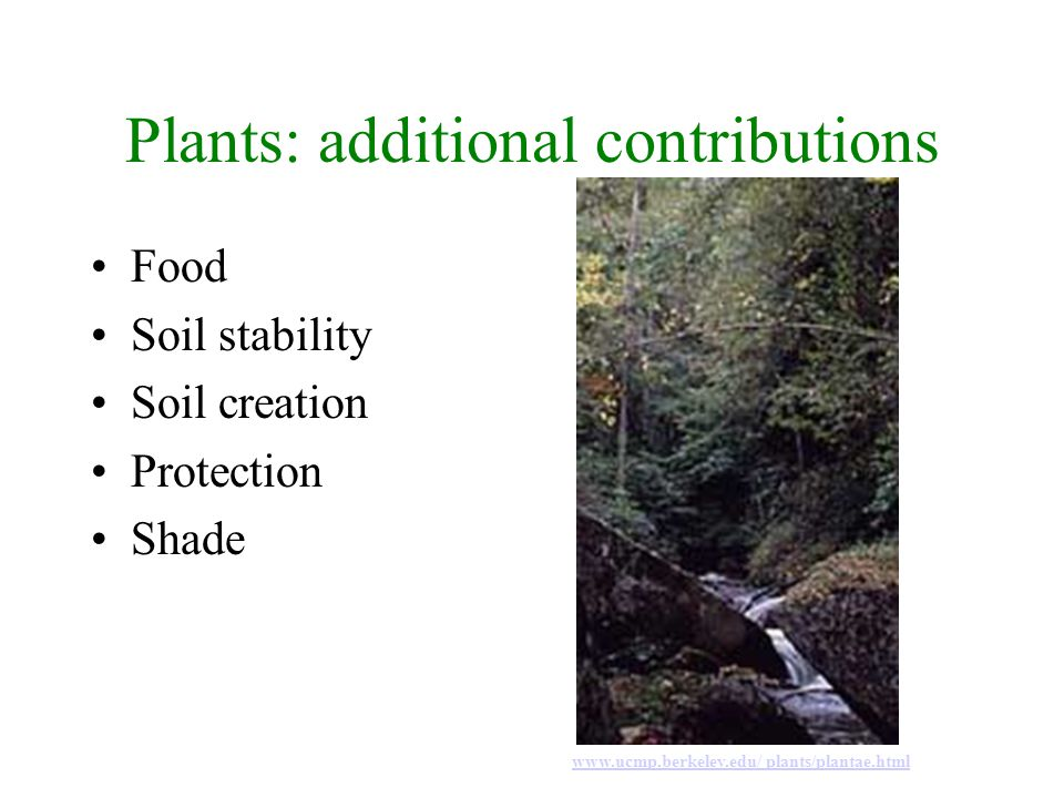 Plants: additional contributions Food Soil stability Soil creation Protection Shade www.ucmp.berkeley.edu/ plants/plantae.html