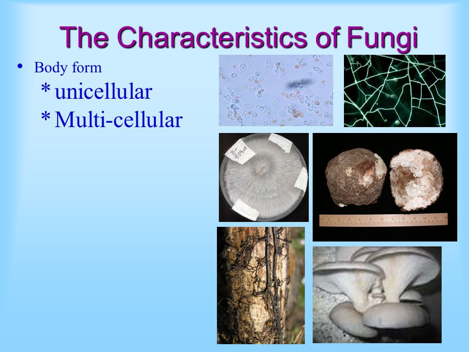 The Characteristics of Fungi Body form *unicellular *Multi-cellular