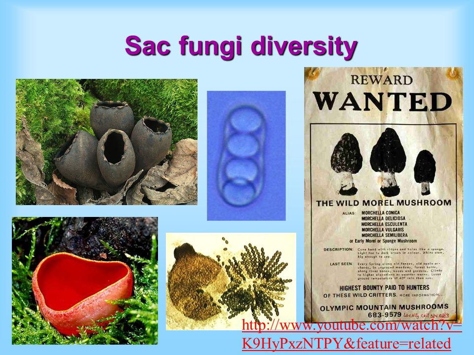 Sac fungi diversity http://www.youtube.com/watch?v= K9HyPxzNTPY&feature=related