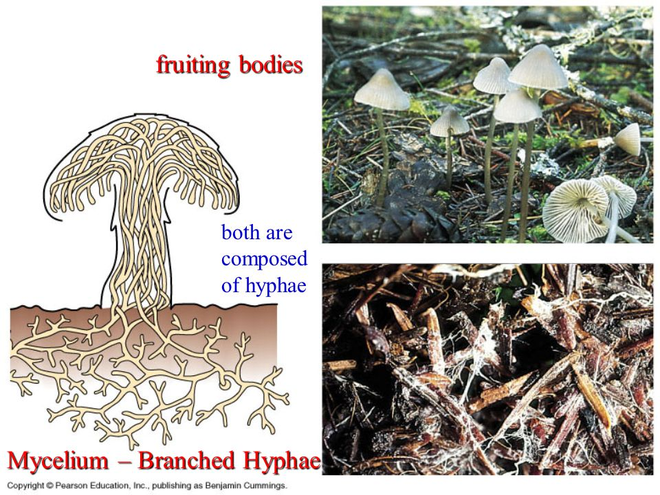 The Characteristics of Fungi Heterotrophic - *Saprophytes or saprobes – *Symbionts - *Parasites – Parasites that cause disease are called pathogens.