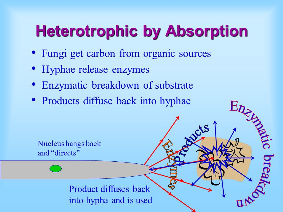 Heterotrophic by Absorption Fungi get carbon from organic sources Hyphae release enzymes Enzymatic breakdown of substrate Products diffuse back into h