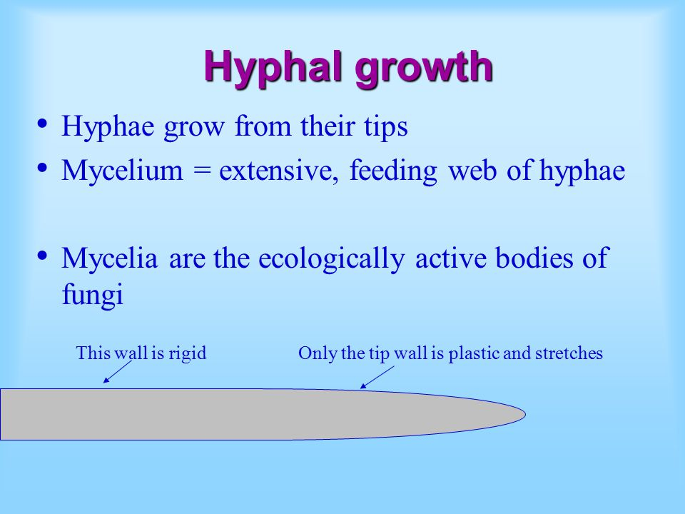Hyphal growth Hyphae grow from their tips Mycelium = extensive, feeding web of hyphae Mycelia are the ecologically active bodies of fungi This wall is