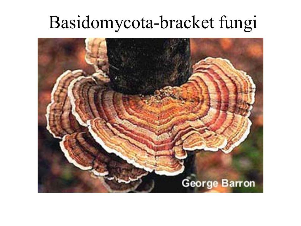 Basidomycota-bracket fungi