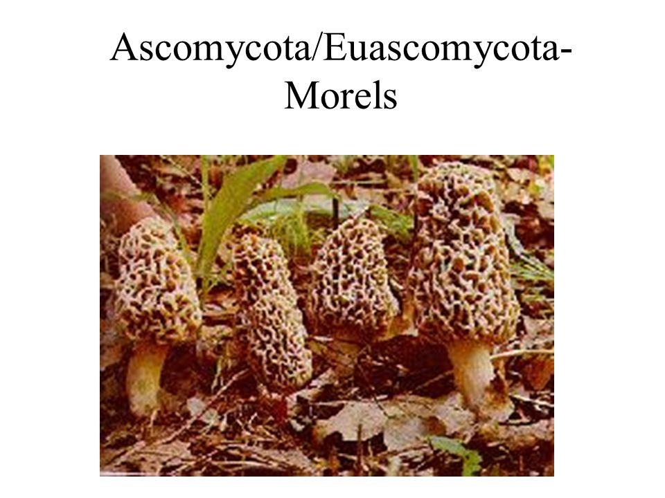 Ascomycota/Euascomycota- Morels