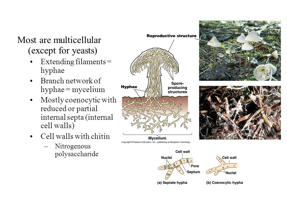 Most are multicellular (except for yeasts) Extending filaments = hyphae Branch network of hyphae = mycelium Mostly coenocytic with reduced or partial internal septa (internal cell walls) Cell walls with chitin –Nitrogenous polysaccharide