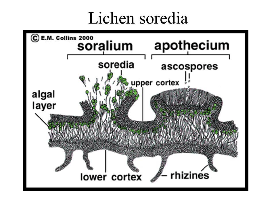 Lichen soredia